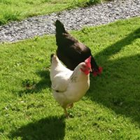 Esmerelda and Philomena two of our chickens strutting their stuff!